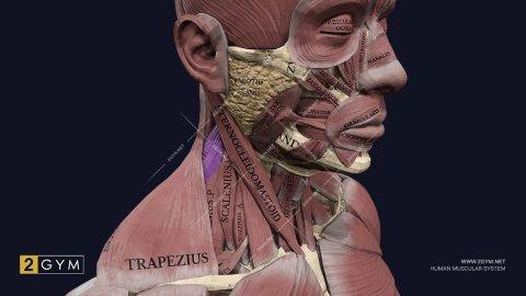 Мышца поднимающая лопатку: анатомия, функции, упражнения (m. levator scapulae)