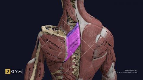 Большая и малая ромбовидные мышцы: где находятся, функции, анатомия (mm. rhomboideus major et minor)