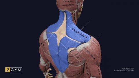 Трапециевидная мышца (m. trapezius) — где находится, функции, анатомия, фото