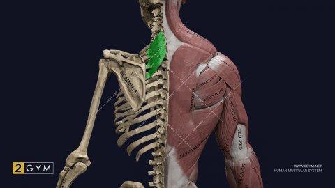 Верхняя задняя зубчатая мышца (m. serratus posterior superior), анатомия, функции
