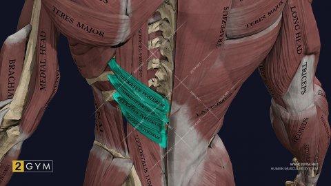 Нижняя задняя зубчатая мышца спины: функции и анатомия