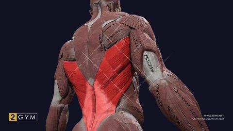 Широчайшая мышца спины: анатомия, функции, упражнения (latissimus dorsi)